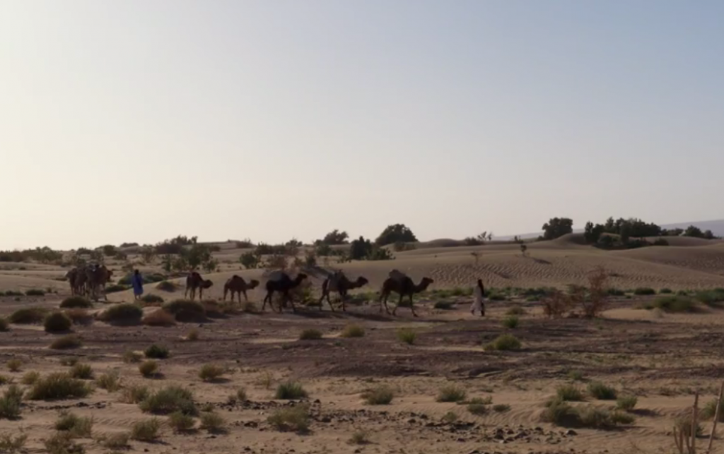 Camels being led through an arid landscape.